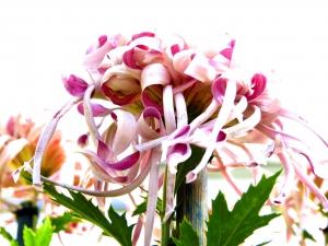 Chrysanthemum No.1 (Photo by Emci)